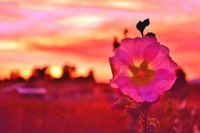 Hollyhock Sunset