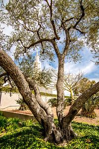 Peeking Through the Trees Los Angeles Temple