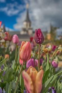 Provo City Center Temple Tulips