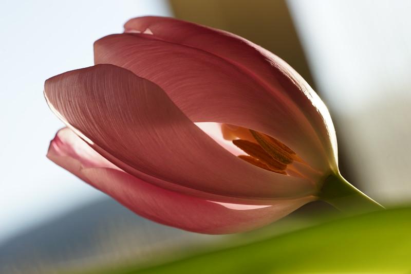 Tulip Peek