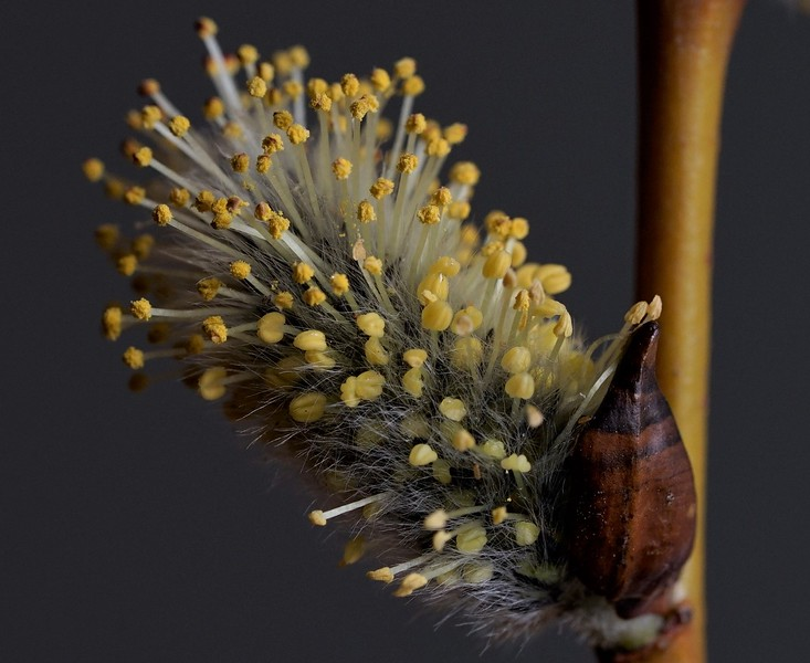 Willow Bush Bloom
