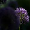 Purple Arium
