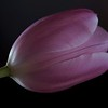 Tulip Petals w/Collected & Bounced Light
