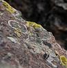 Boulder Moss