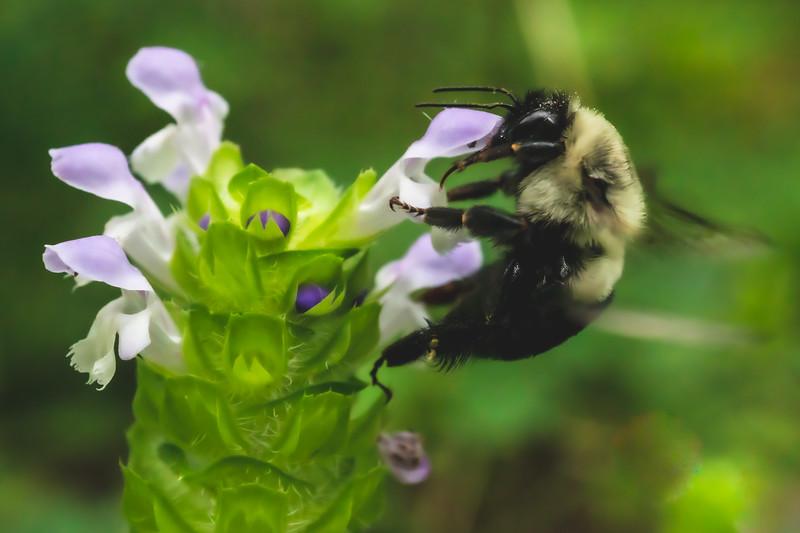 Bee on a Selfheal