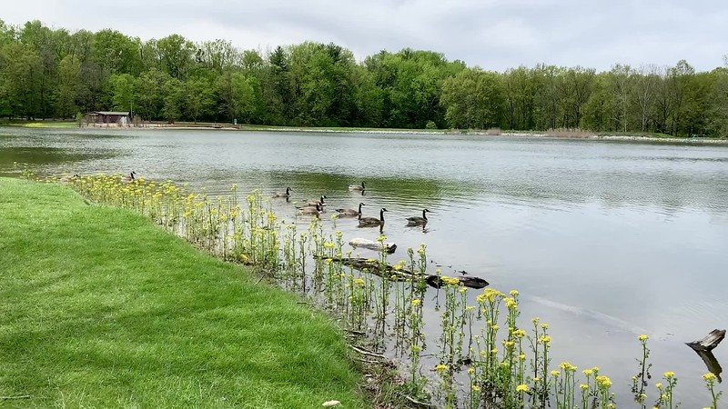 Canadian Geese on Fowler Lake