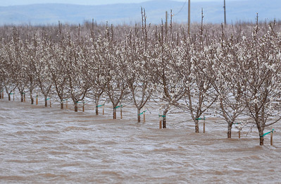 A flooded almond orchard off of Highway 32 between Chico and Hamilton City on Wednesday, February 27. (Matt Bates -- Enterprise Record)