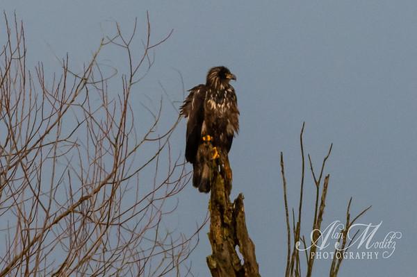 Fledgling Eagle