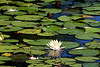 Water Lily at Cranberry bog