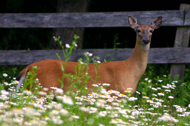 White-tailed Deer<br /> Hunt Valley Maryland