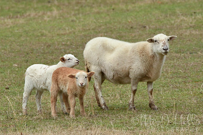 A Sheeple Family Portrait