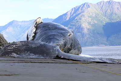Humpback whale  grounded