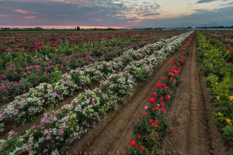 Rows of Roses (#0444)