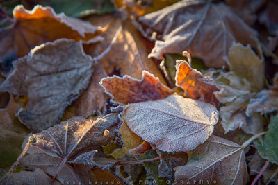 Frosted Leaf (#0486)