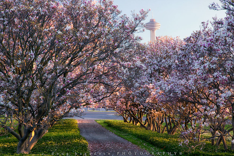 Towering Over The Magnolias (#0420)