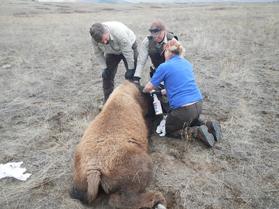 Tick paralysis.  Treating a yearling paralyzed bison for ticks. Pulling them off and treating with insecticides and meds.   http://www.columbia-lyme.org/patients/tbd_paralysis.html
