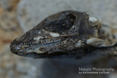Anole Skeleton