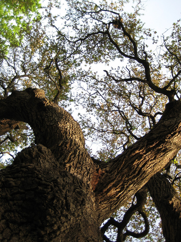 Laying Under the Oak