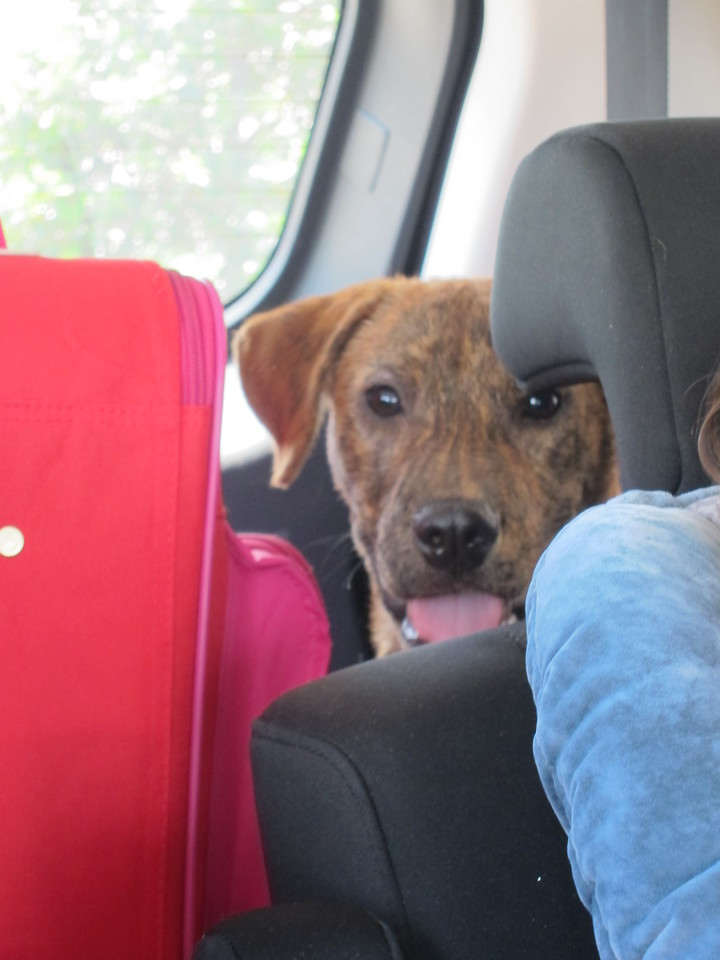 Mr. Rhett on the way back from his first road trip.  He was a model passenger.