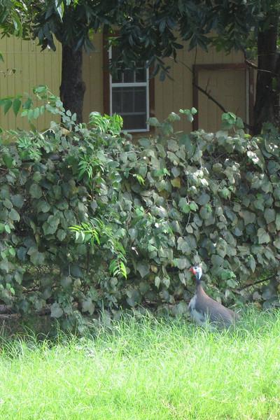 Yep, that's a Guinea Hen a block away from my house.
