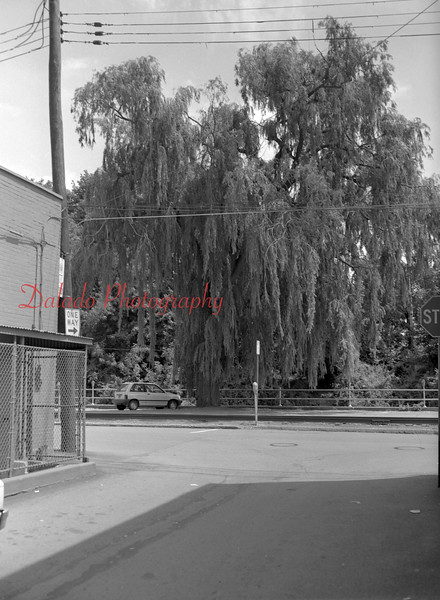 (Aug. 1991) Willow tree at municipal parking lot off Water Street.
