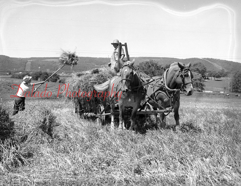 (Aug. 1955) Farming on the Morrison Brothers Farm, Danville, R.D. The farm, managed by Ellen Morrison. Operated by Harmon and Russell Morrison. Pitching the hay is George Vastine, a summer employee.