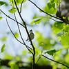 Cerullian Warbler