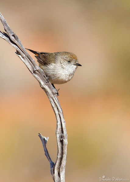 Thornbills, Pardalotes, Gerygones, Cisticola and Whiteface