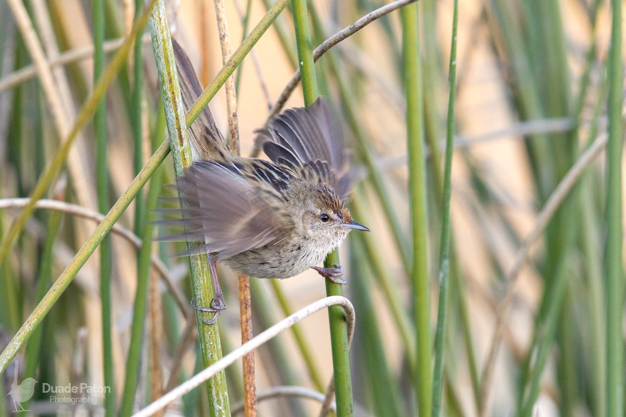 Little Grassbird