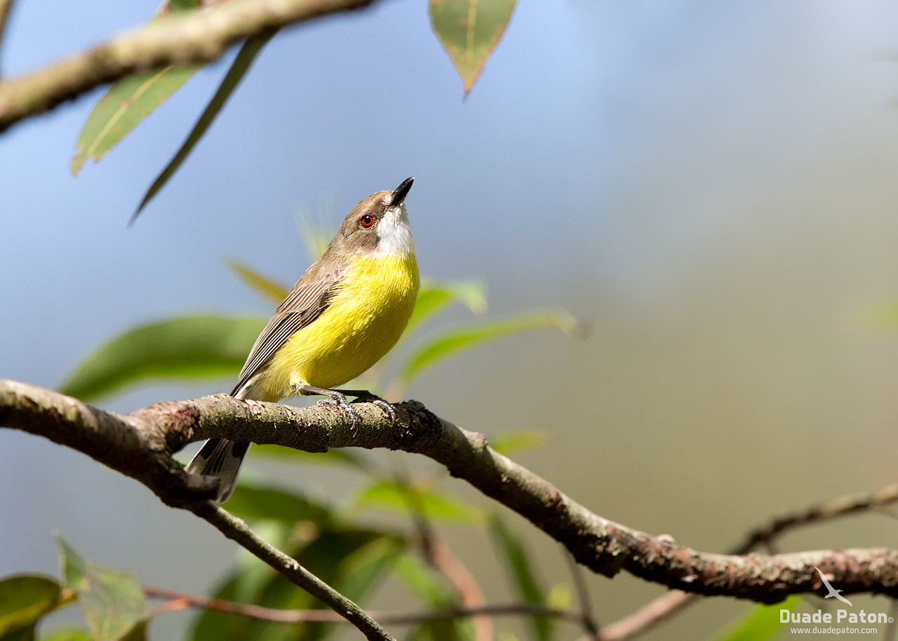 White-throated Gerygone