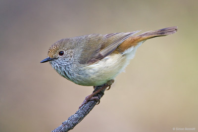 Thornbills and Scrubwrens