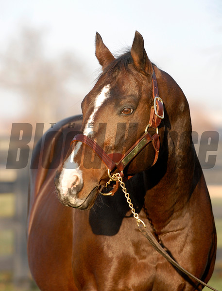 A.P. Indy at Lane's End Farm near Versailles, Ky. on Dec. 20, 2006. Leading sire of 2006.<br /> APINDY12_20 image82<br /> Photo by Anne M. Eberhardt