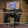 Hip 297 filly by American Pharoah from Lonelily<br /> at  Nov. 7, 2019 Keeneland in Lexington, KY.