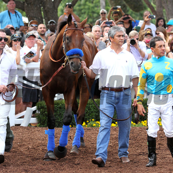 Triple Crown winner AMERICAN PHAROAH, parading calmly around the beautiful walking ring surrounded by adoring fans at Santa Anita 06.27.15. Photo by Helen Solomon
