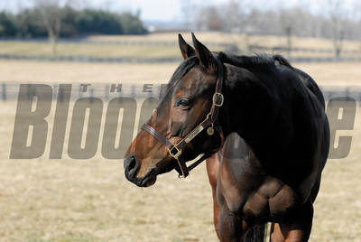 CAPTION: Ouija Board during her stay at Lane's End Farm in Versailles, Ky. on February 15, 2007, where she will be bred to Kingmambo. OuijaBoard image40 Photo by Anne M. Eberhardt