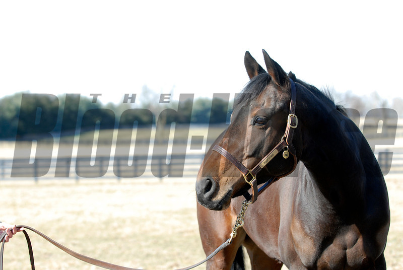 CAPTION:<br /> Ouija Board during her stay at Lane's End Farm in Versailles, Ky. on February 15, 2007, where she will be bred to Kingmambo.<br /> OuijaBoard image27<br /> Photo by Anne M. Eberhardt