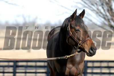 CAPTION: Ouija Board during her stay at Lane's End Farm in Versailles, Ky. on February 15, 2007, where she will be bred to Kingmambo. OuijaBoard image93 Photo by Anne M. Eberhardt