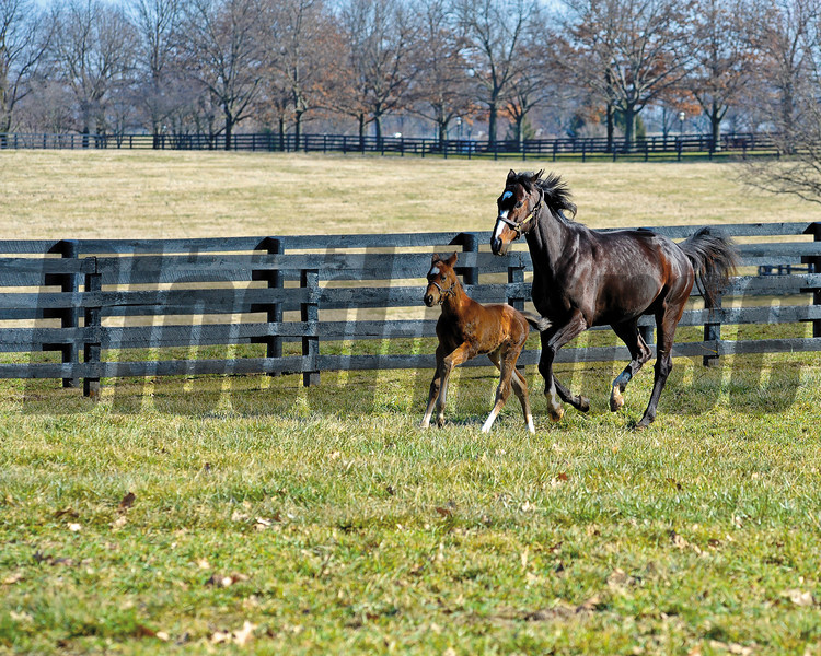 Rachel Alexandra with her first foal, a colt by Curlin born on Jan. 22, at Stonestreet Farm near Lexington, Ky. photographed on Feb. 17, 2012.<br /> RachelAlexandra Origs3 image210<br /> Photo by Anne M. Eberhardt.