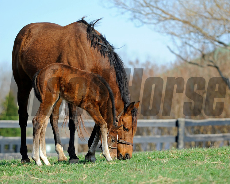 Caption: as close to mom as possible, and trying out the grass<br /> Lotta Kim produced a full sister to Rachel Alexandra on Feb. 27, 2011, at Dr. Dede McGehee's Heaven Trees Farm near Lexington, Ky. Photographed on March 12, 2011, the Medaglia d'Oro filly is owned by Dolph Morrison. for Throughthelensblog.com, Blood-Horse and bloodhorse.com<br /> LottaKim Origs1 image 044<br /> Photo by Anne M. Eberhardt