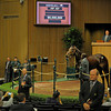 Caption: Hip 427 Royal Delta brings $8.5 million<br /> Keeneland Sales, Keeneland, November 8, 2011, in Lexington, Ky.<br /> RoyalDeltaHip427 image947<br /> Photo by Anne M. Eberhardt