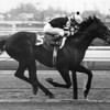 Seattle Slew wins the 1977 Wood Memorial.<br /> Photo by: Bob Coglianese