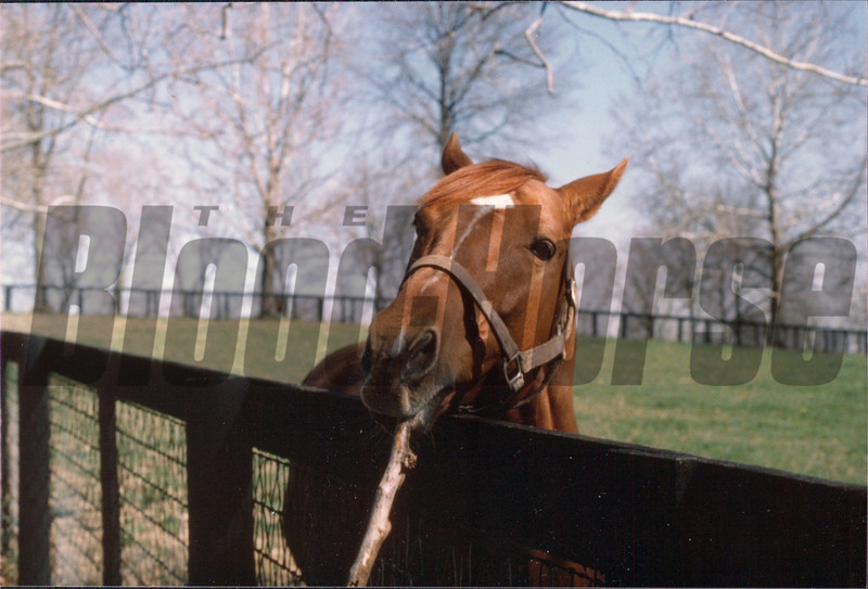 Finally, this is my favorite shot of Secretariat at stud. When we approached the fence, he went over and picked up a large branch and brought it over, defying me to try pull it out of his mouth. I felt like I was playing fetch with a dog.<br /> Photo by: Steve Haskin