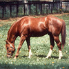 Secretariat grazing<br /> Photo by: Steve Haskin