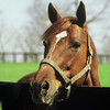 Secretariat head shot at Stud<br /> Photo by: Steve Haskin