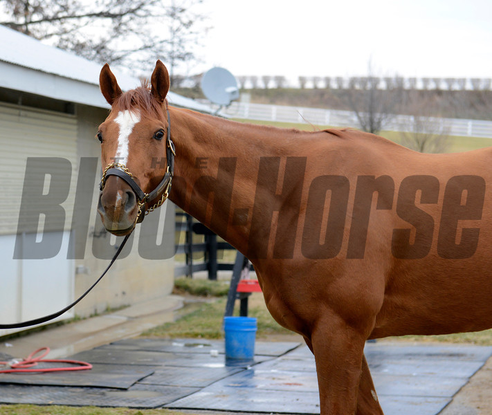 Caption: Wise Dan at Keeneland<br /> Keeneland January sale at Keeneland in Lexington, Ky. on Jan. 10, 2013.<br /> KeeJan2013 Sales ThursOrigs1 image996<br /> Photo by Anne M. Eberhardt