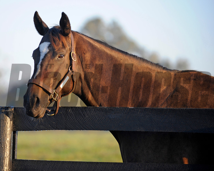 Zenyatta at Lane's End Farm, early morning on Oct. 5, 2011, near Versailles, Ky.<br /> Photo by Anne M. Eberhardt