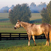 Caption: Tasty Temptation, Zenyatta's field buddy, poses in the morning light.<br /> Zenyatta at Lane's End Farm, early morning on Oct. 5, 2011, near Versailles, Ky.<br /> Origs2 image360<br /> Photo by Anne M. Eberhardt