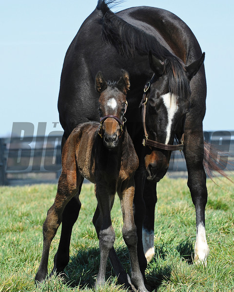 Zenyatta, 2010 Horse of the Year in her paddock with her first foal, a Bernardini colt form March 8, 2012 at Lane's End Farm.<br /> Photo by: Mathea Kelley