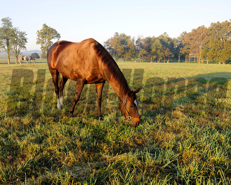 Grazing with Tasty Temptation in background: Zenyatta at Lane's End Farm, early morning on Oct. 5, 2011, near Versailles, Ky.<br /> Photo by Anne M. Eberhardt