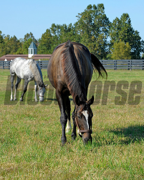 Caption: grazing with field buddy Tasty Temptation<br /> Zenyatta at Lane's End Farm, mid afternoon on Oct. 5, 2011, near Versailles, Ky.<br /> Origs4 image418<br /> Photo by Anne M. Eberhardt
